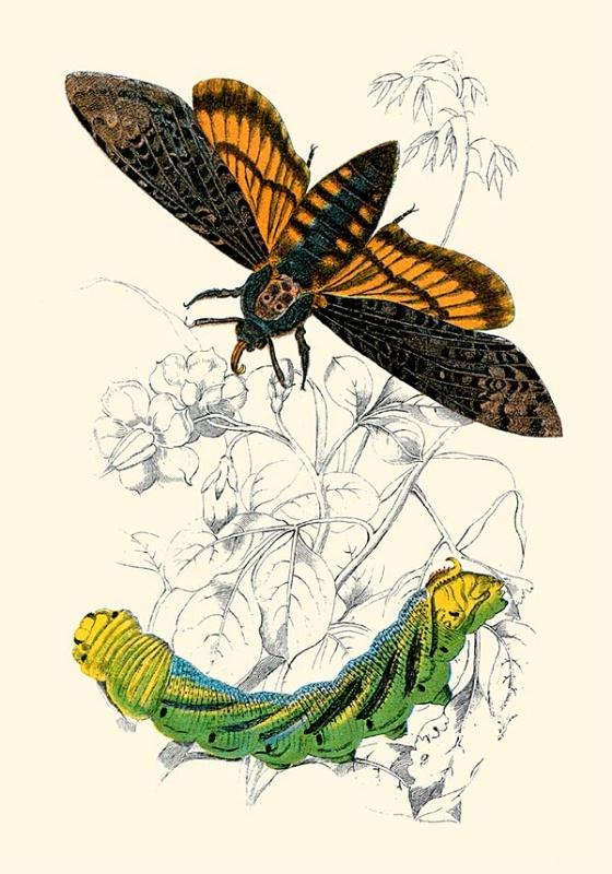 Death Head Moth & Caterpillar
