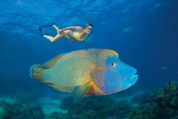 The Maori wrasse, also known as Napoleon or Humpheaded wrasse, is the largest species in the wrasse family. They can grow to more than six feet long and weigh nearly 400 pounds.