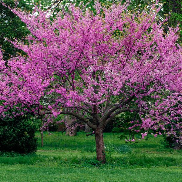 22 best dogwood trees images on pinterest flowering for Pink small tree