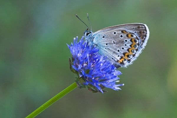 Spotting a blue butterfly is thought to bring luck or grant a wish within some cultures.