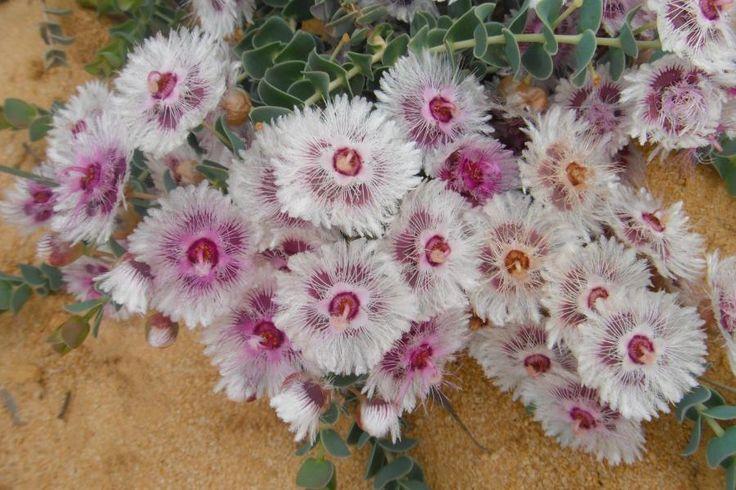 Wild Flowers. West Australia.