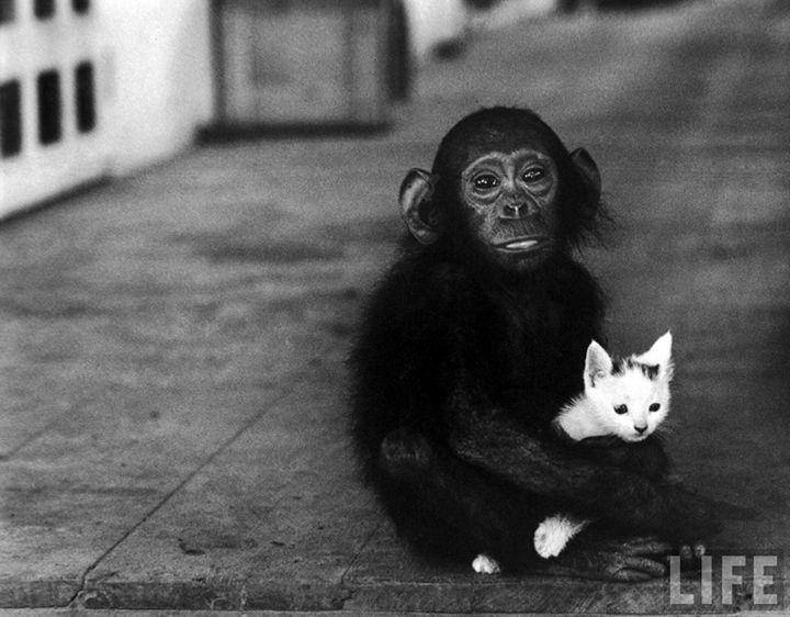 Foto: W. Eugene Smith: Dr. Albert Schweitzer'in hastane ve cüzzamlı köyünde kedi yavrusu tutan Bebek şempanze. Lambarene, Gabon, 1954 (LIFE)