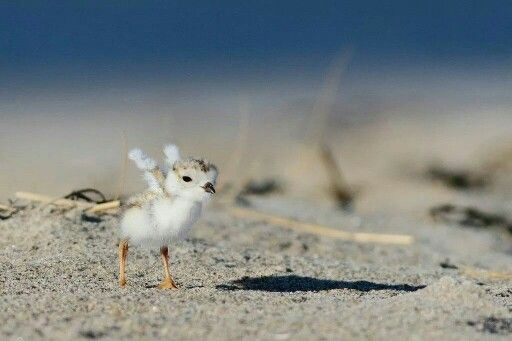 Baby piping plover - photo#6