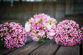 Gallery Image pink bouvardia bridal bouquet