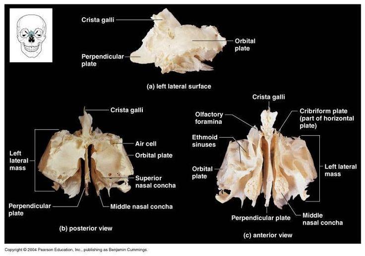 Ethmoid+Bone+Diagram | internal bone that looks like a walnut articulations sphenoid bone ...