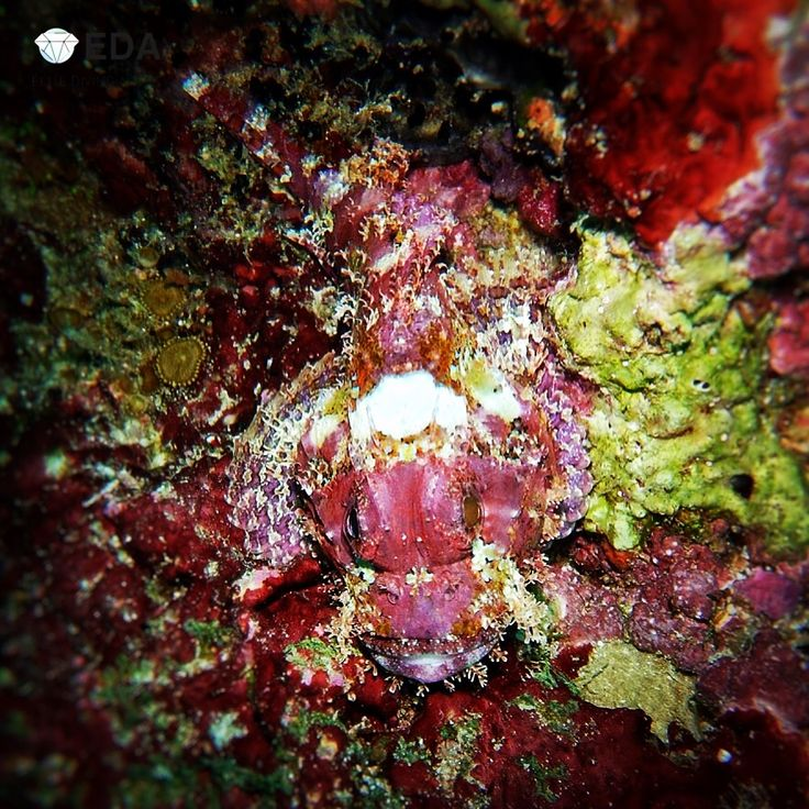 Camouflage is essential, especially when you are so little, like this 20cm scorpionfish, and you want to survive your predators.