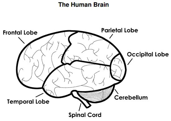 Best 25+ Brain diagram ideas on Pinterest | Diagram of the brain ...
