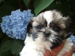 shih tzu puppies for sale in ma standard country home shih tzu puppies for sale in 3773