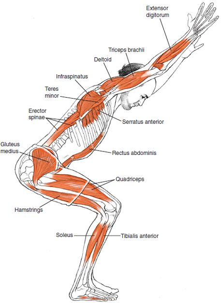 Utkatasana Leslie Kaminoff Yoga Anatomy Illustrated by Sharon Ellis