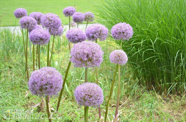 Feng Shui im Garten, Allium