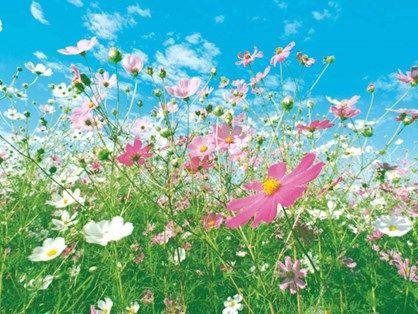 Fototapet - Flower Meadow. Fotostat med skøn blomstereng, her får du en masse flotte farver på væggen, det grønne græs, de hvide og lyserøde blomster samt en blå himmel med fine candyfloss skyer.