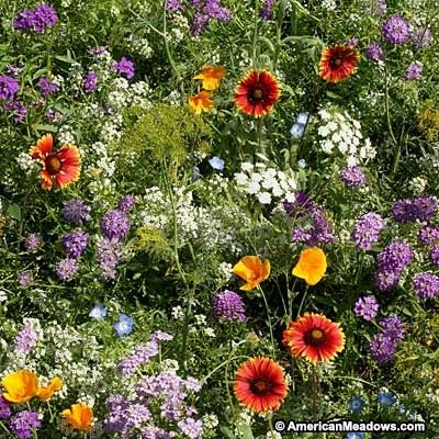 This mixture attracts beneficial bugs to the garden. Beneficial bugs include lacewings, lady bugs, hover flies and parasitic wasps, which help to destroy harmful pests such as aphids, thrips and mites.