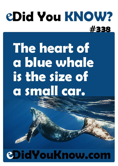 the heart of a blue whale is the size of a small car