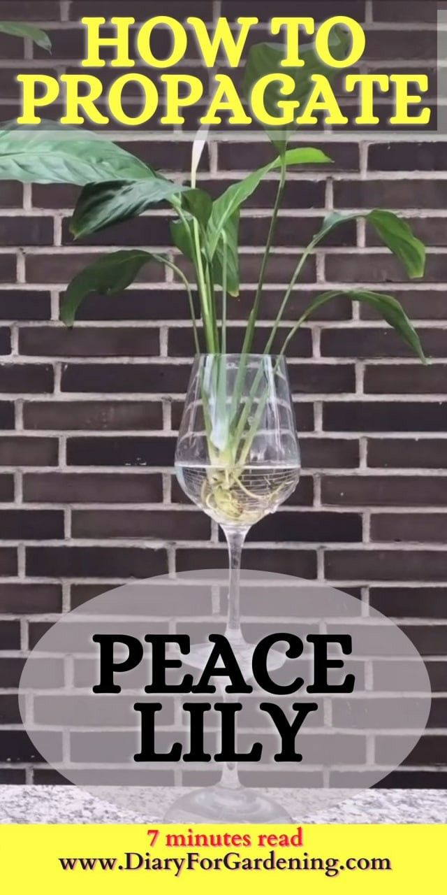 Peace Lily Care Propagation Peace Lily Care Peace Lily Lily Care