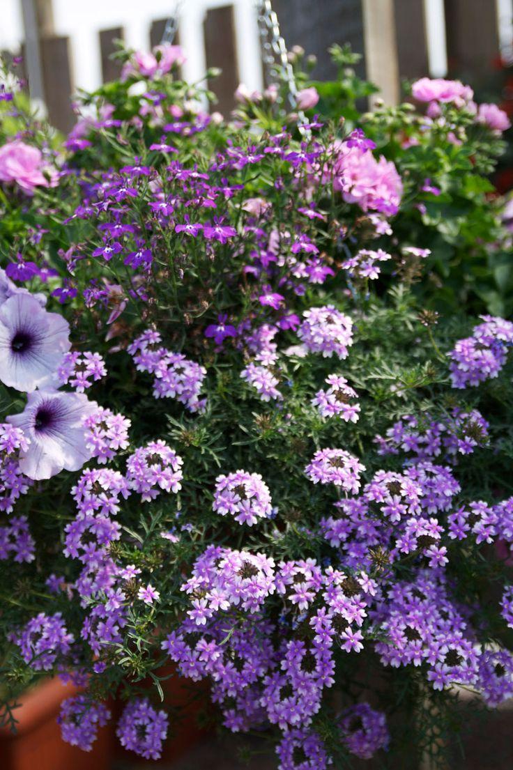 Symfoni i lila toner med hängpetunia, hängverbena och hänglobelia. Kombinationen passar lika bra i balkonglådan som i en egenhändigt planterad ampel. Från odla.nu