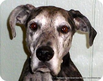 BRIANNA. birthday 10/05 is an #adoptable female, #merle #GreatDane. My story: http://hhdane.org/danes/brianna.htm   Adoption info: http://www.hhdane.org/hhdane/procedure.htm --- Original Pinner ~ Harlequin Haven Great Dane Rescue ~ onto their board ~ HHGDR Available Dogs on Adopt-A-Pet