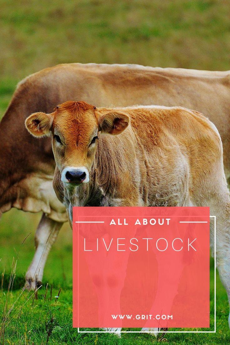 367 best livestock images on pinterest farm animals livestock