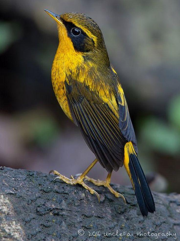 Golden Bush Robin, Tarsiger chrysaeus, OW flycatcher | by Uncle Fai