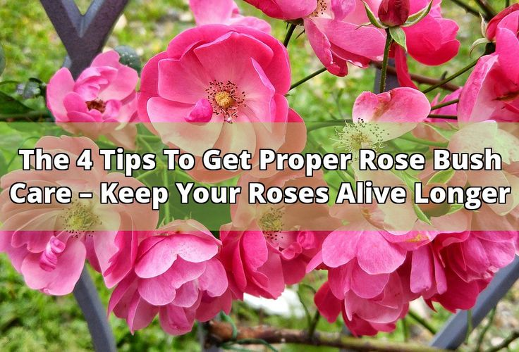 You might want to get practice in taking proper care of rose bushes if you're wanting them to last a long time. The things you might want to know are; proper amount of sunlight, the proper amount and techniques for watering, variety gardens, and the use of fertilizer. Create a variety garden:  One of... - #rose bush #fertilizer #watering #roses #plant #sunlight