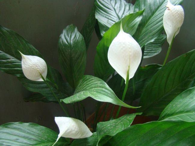 Чтобы получить обильное и продолжительное цветение спатифиллума, можно разместить комнатный цветок в помещении с температурным режимом на уровне не выше 10-12°С с сокращением оросительных мероприятий