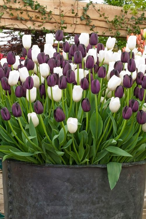 This large zinc pot stuffed with purple and white tulips makes a wonderful focal point.