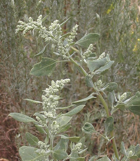 Lambsquarter is one wildly misunderstood weed. Learn about all the nutritious and medicinal benefits of this plant from root to seed and get recipes for lambsquarter salad, quiche, soap, and more.