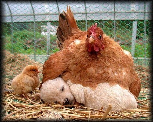 """That baby chick is looking like, 'What the? I know I'm new here and all but I'm pretty sure that that doesn't look right.' and says, """"Mama... it's ME!  You've got the wrong one!"""""""