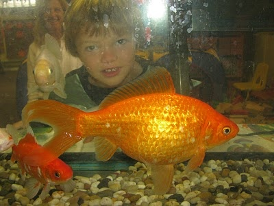 60 best images about big goldfish on pinterest black for Big freshwater aquarium fish