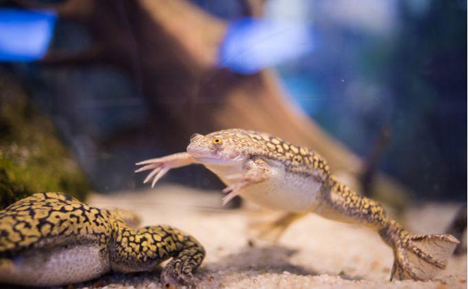 外来種 アフリカツメガエルの生態と飼育方法を紹介 繁殖が簡単で餌用 研究用にも使われる Woriver ツメガエル アフリカ ペット ショップ