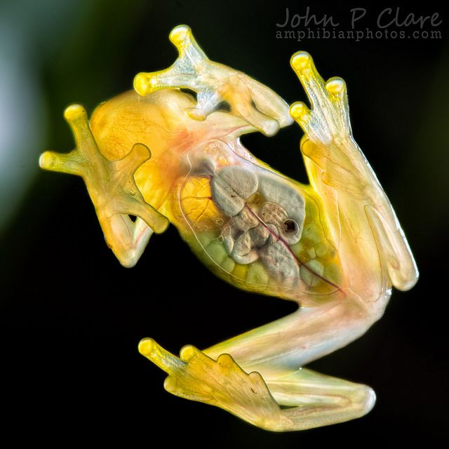 G is for Glass Frog Facts : A-Z Collection of Cool Animals Challenge  #AtoZChallenge
