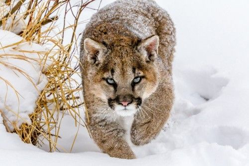 Sneaky Cougar by Mike Centioli