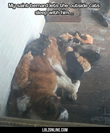 My Saint Bernard Lets The Outside Cats...#funny #lol #lolzonline