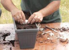 Cultiver-de-l'ail-500x281