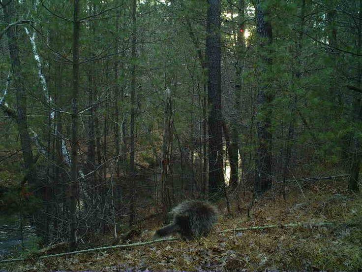 Porcupine-Jackson County
