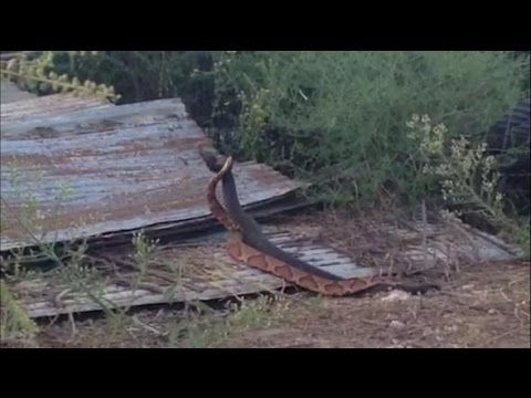 Snakes Mating Duel Seen in the Wild - National Geographic Documentary http://youtu