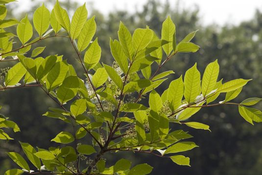 pictures of poison ivy, oak, and sumac. WHich ways they grow and where they are most common.