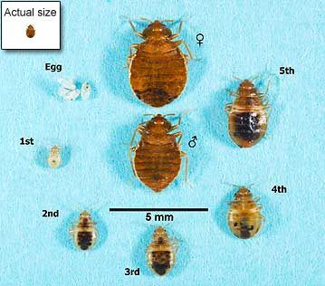 Bed Bug Biology:  Knowing what to look for is the first step in controlling bed bugs. Generally, adult bed bugs are 1/4 to 3/8 inch (4-5mm) long, brown in color, with a flat, oval-shaped body; while young bed bugs (also called nymphs) are smaller and lighter in color.