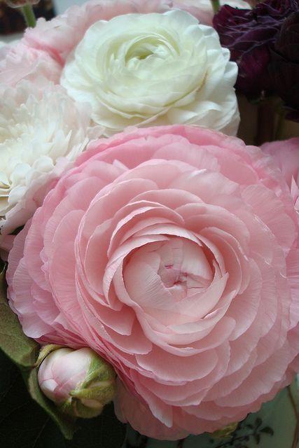 flowersgardenlove:美しい豪華なかわいい花フリック経由Renoncules、