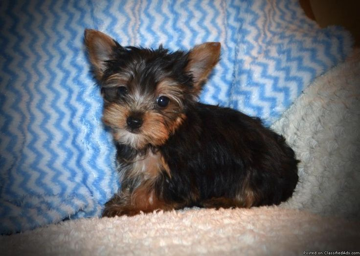"This is Slay. He is a tiny toy ""teacup"" male Yorkie. His estimated adult weight is 3 to 5 pounds. He was born Dec. 27, 2016 and is ready for a new home now, his price has just been reduced. He comes up to date on shots and wormings and with registration papers. For more information view my website www.tkkennels.com. Call or text anytime 318-450-2148."