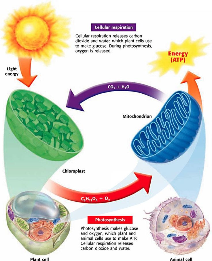 Photosynthesis, Cellular Respiration, & Fermentation - Biology Rocks!