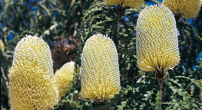 Wildflowers -- Showy Banksia (Banksia speciosa), at Cape Le Grand National Park, Western Australia.