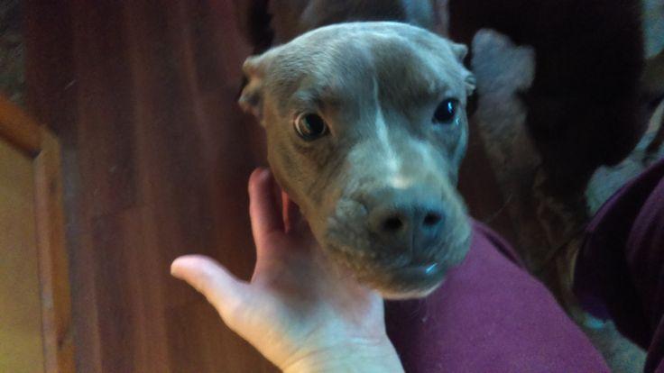 Bullboxer Pit dog for Adoption in North Creek, NY. ADN-469529 on PuppyFinder.com Gender: Female. Age: Young