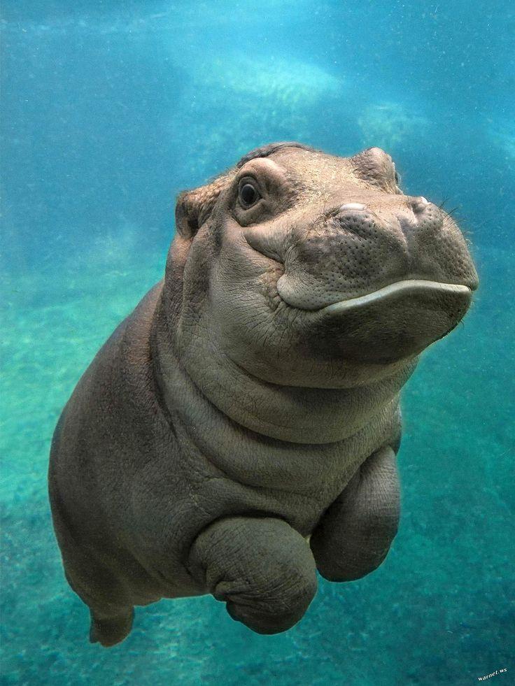 Bébé Hippo au Zoo de San Diego - http://photomonde.fr/bebe-hippo-au-zoo-de-san-diego/