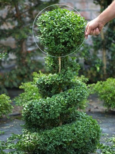How to Make a Spiral Topiary - info on how to trim a shrub into a spiral shaped topiary - via HGTV