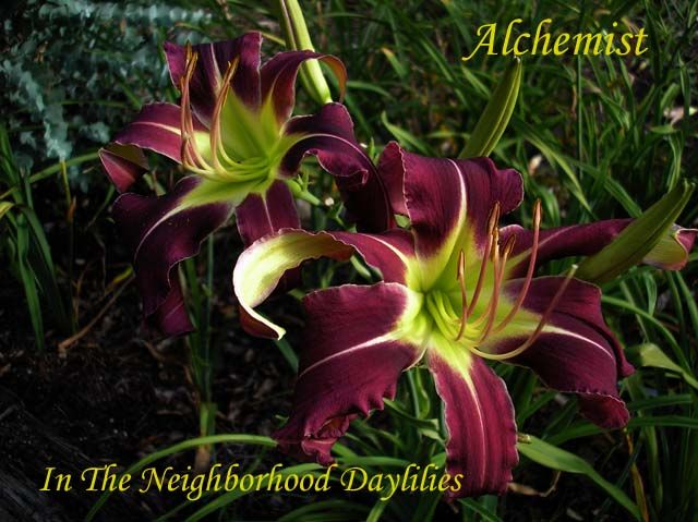 Alchemist Daylily,Murphy Daylily,2006 Registered Daylily,Late Season Daylily,Dormant Unusual Form Daylily,Purple with White Midribs Daylily