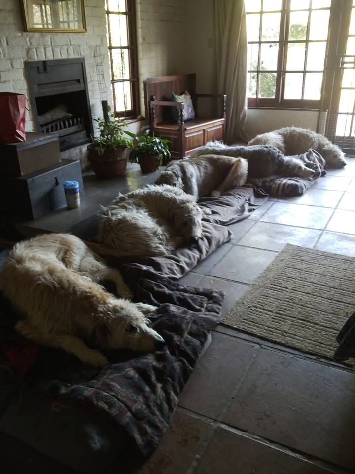 .Irish Wolf Hounds I would love to have a herd of these guys!