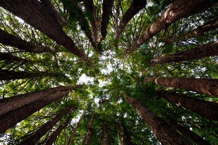 photos of trees looking up   Look Up! Redwood Cathedral Tree   Art   Pinterest