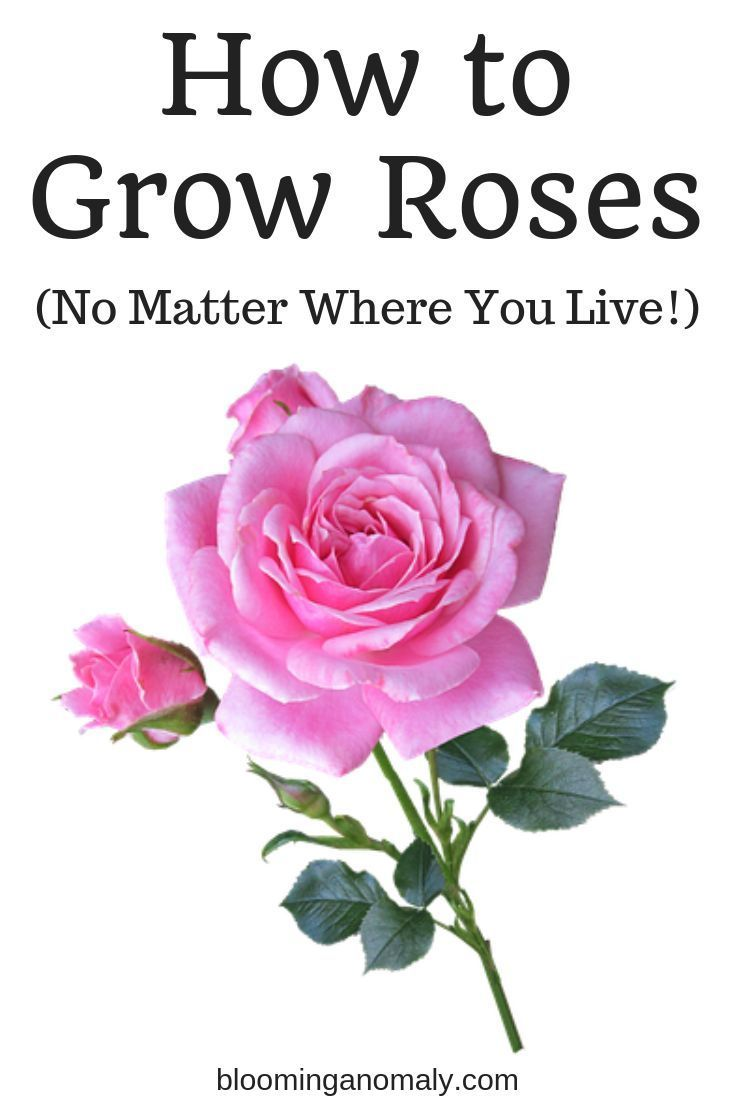 Growing Roses No Matter Where You Live Growing Roses Types Of