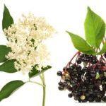 Heilpflanzen Holunder Wirkung.Der Holunderstrauch ist ein wahres Naturheilmittel. Der Schwarze Holunder verdankt seinen Namen den dunklen Beeren. Seine Inhaltsstoffe haben eine grosse Heilwirkung bei Erkältungen,Grippe, Schnupfen, Halsschmerzen, Verstopfung, Nervosität, Atemwegsallergien wie Heuschnupfen, Diabetes, Prellungen, Verstauchungen oder Wunden. Hierbei wird zwischen den Wirkstoffen der Rinde, der Blätter und Blüten sowie der Beeren unterschieden.