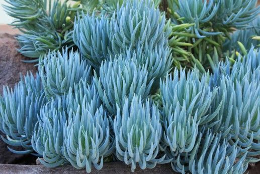 Blue Chalk Sticks Succulent - along house side driveway